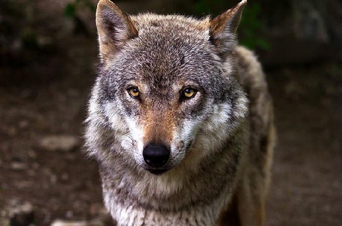 Vlk, ilustrační foto. Foto: archiv Pixabay.com